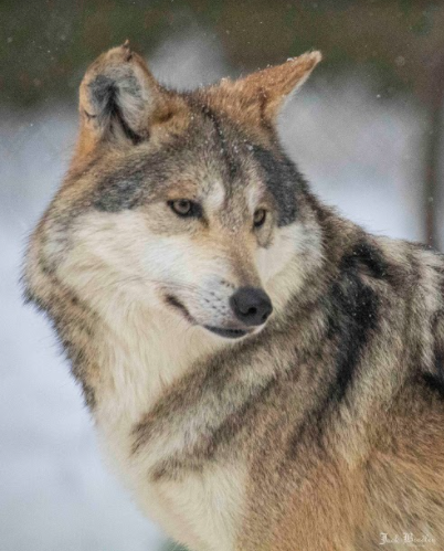 New to the Zoo: Photo of a Mexican gray wolf, the newest addition to the Beardsley Zoo.  Photo courtesy of the Beardsley Zoo.