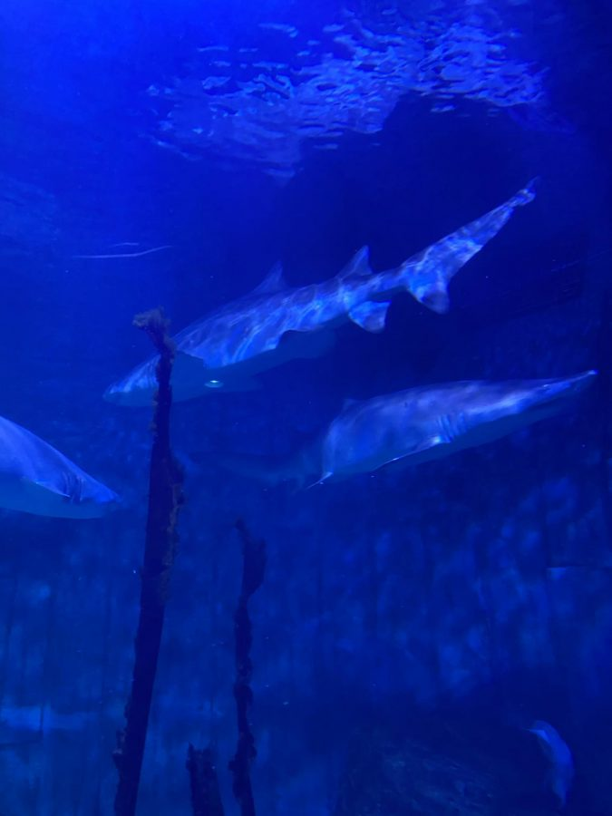 The shark exhibit where there are 3 sharks and many different fish species in the tank along with them. Photo Courtesy of Caitlin Ardito