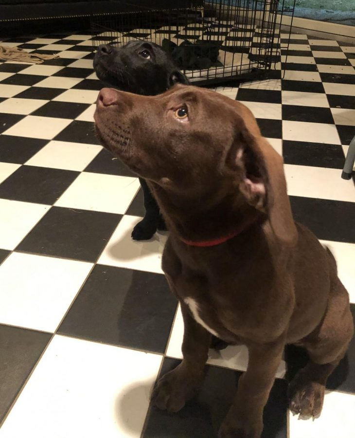 Training a Puppy: Pictured is puppies Luna (front) and Lena (back) practicing their commands. Photo Courtesy: Shannon Flynn, August 15,2020